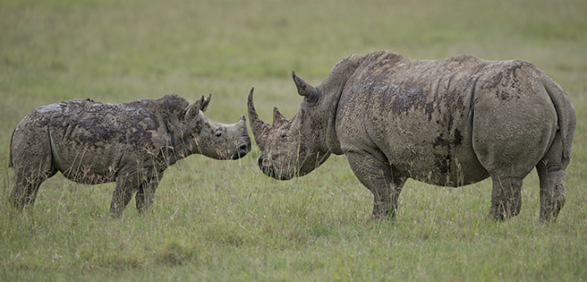 A white rhino bonds with her calf