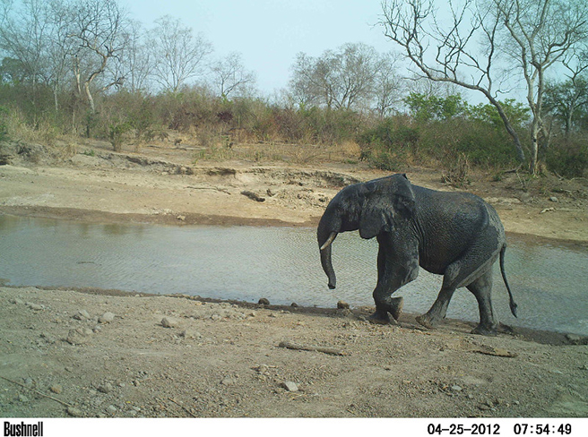 Elephant at Parc W watering hole