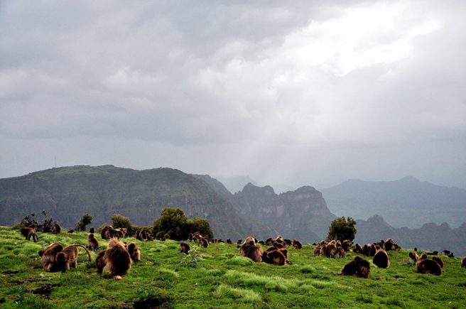 Gelada baboons in Ethiopia's Simien Mountains