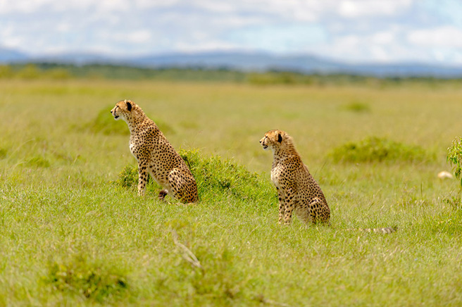 Two sitting cheetahs in Kenya. Photo by Robyn Gianni