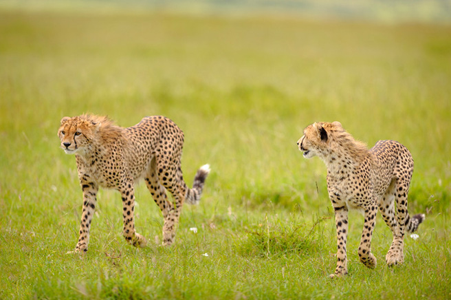 Two cheetahs in Kenya. Photo by Robyn Gianni