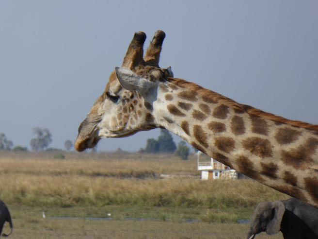 Giraffe by Rosemary Black