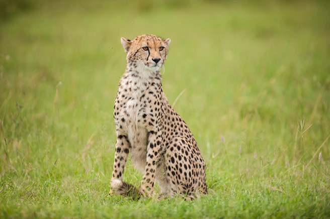 Adult female cheetah in Kenya. Photo by Robyn Gianni