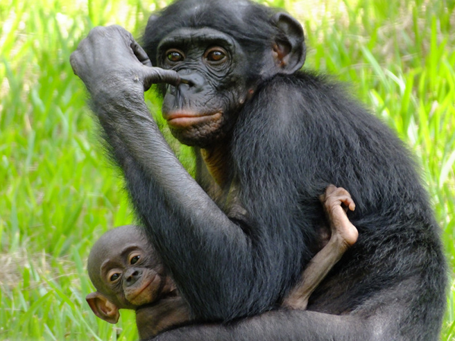 Bonobo in Democratic Republic of Congo