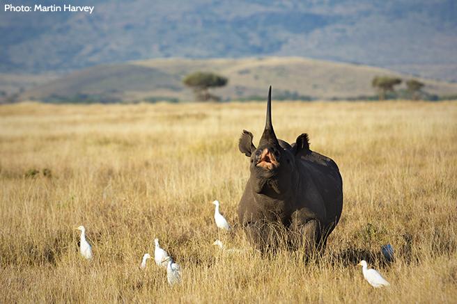 A Rhino Spreading the Word Across the Savanna