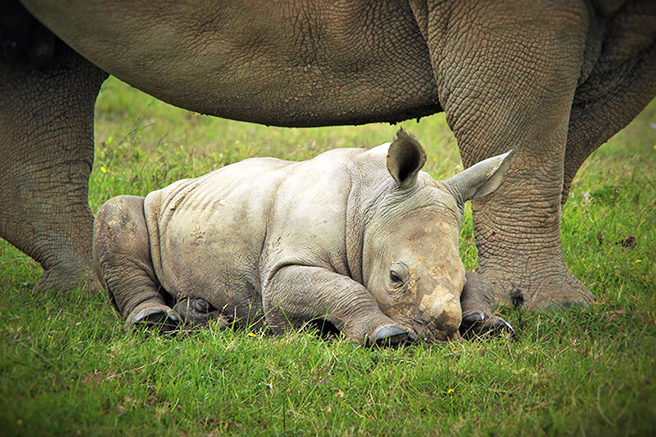 Thandi and rhino calf Thembi