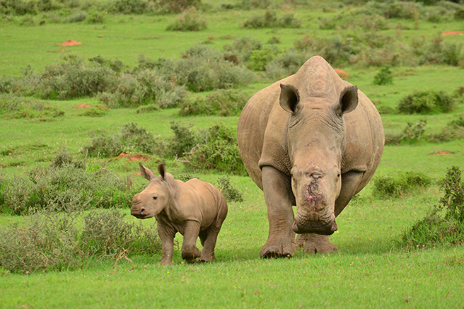 Thandi and rhino calf Thembi in Kariega Game Reserve