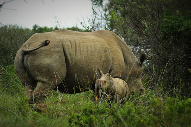 Thandi the rhino and Thembi share a tender moment in Kariega