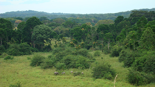 An elephant group emerging from the forest into a savanna clearing. Photo by: Stephanie Schuttler