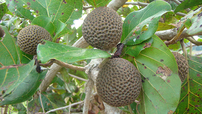 Fruits from a Nauclea diderichii tree. Photo by Stephanie Schuttler