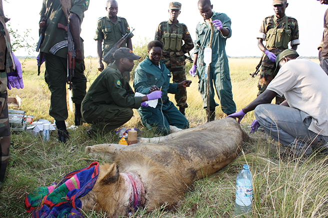 Dr. Margaret treating a lion in Queen Elizabeth National Park in Uganda