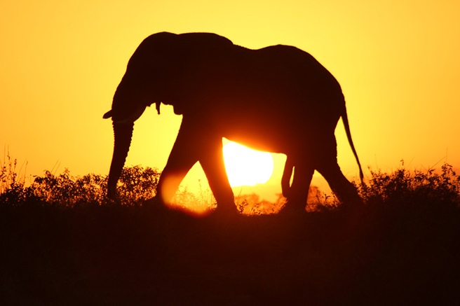 Behind the legal, domestic ivory trade, a black market flourishes