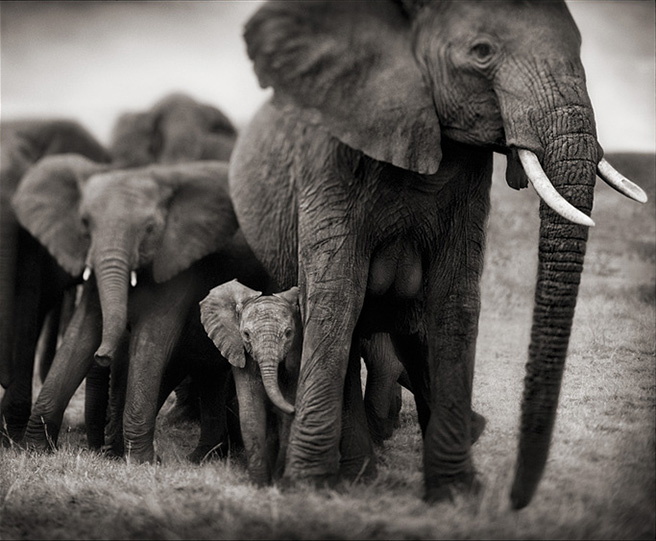 Elephant Qunquat photographed by Nick Brandt-Big Life Foundation