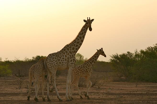 Giraffes in Parc W