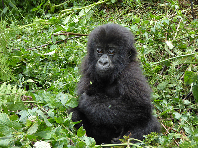 Baby mountain gorilla in Virunga
