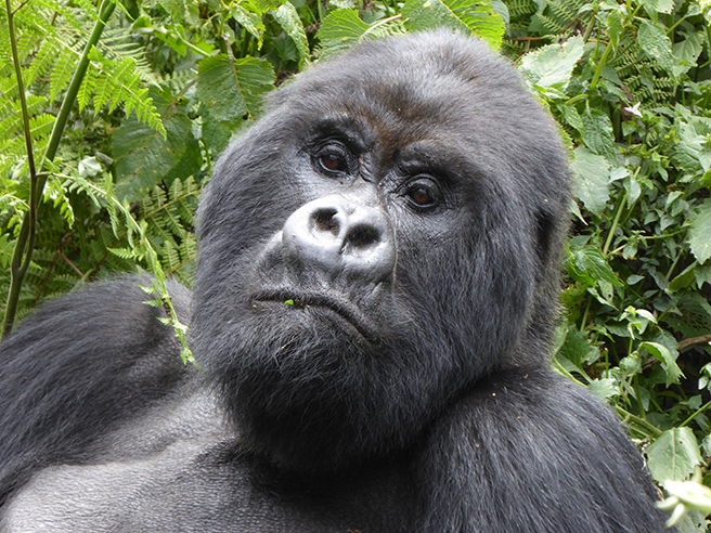 Mountain gorilla virunga