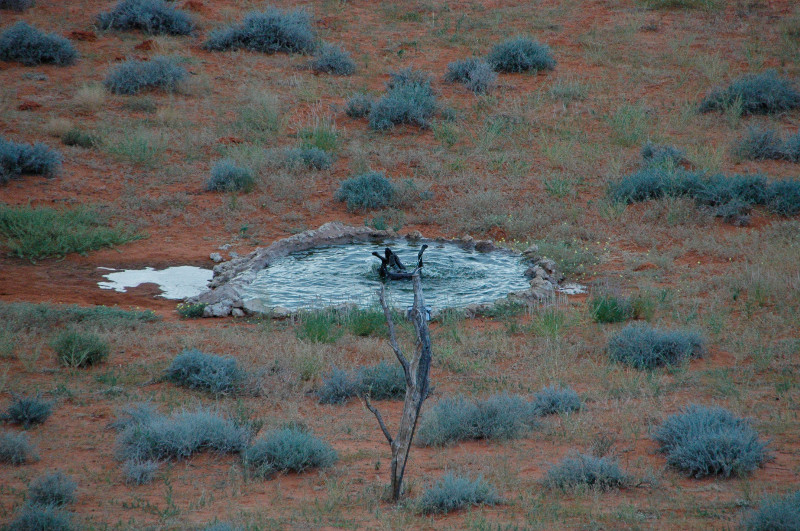A hyena takes a dip in a watering hole at Kieliekrankie Wilderness Camp, Kgalagadi Transfrontier Park, South Africa