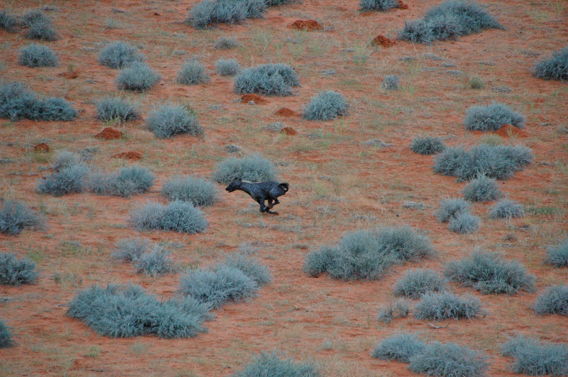 A hyena running at Kieliekrankie Wilderness Camp, Kgalagadi Transfrontier Park, South Africa