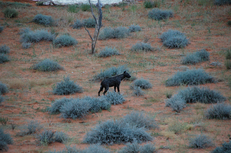 A hyena at Kieliekrankie Wilderness Camp, Kgalagadi Transfrontier Park, South Africa