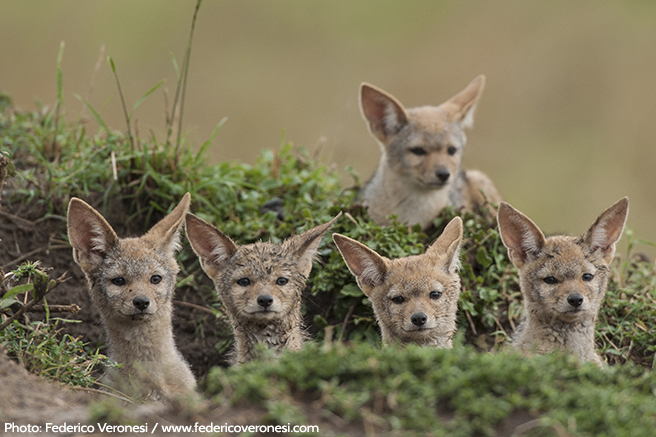 Young Bat-Eared Foxes Alert for the Latest News