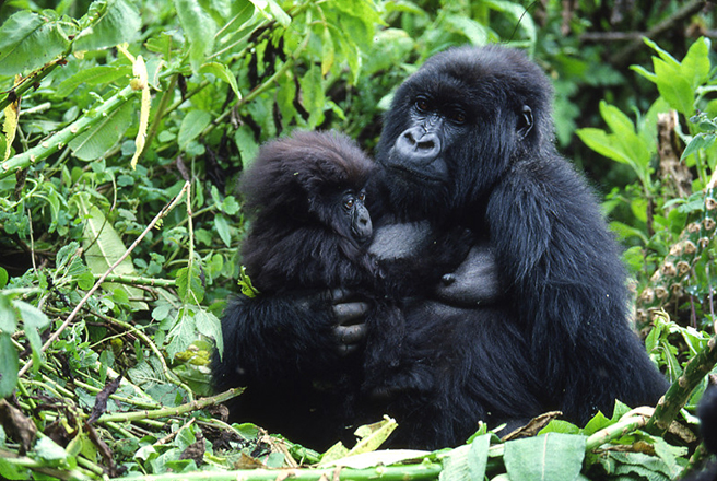 Mountain gorilla infant and mother in Rwanda. Photo by: Craig R. Sholley