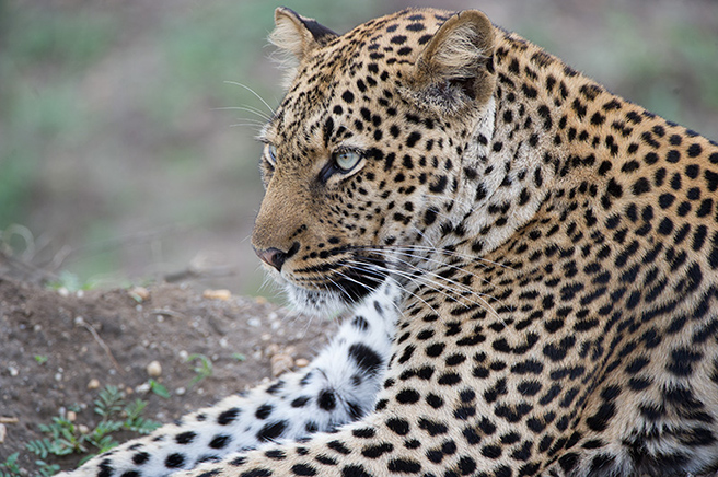 Leopard by Max Chiswick