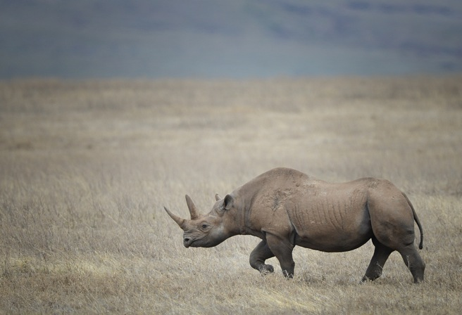 Rhino wanders Tanzania's grasslands