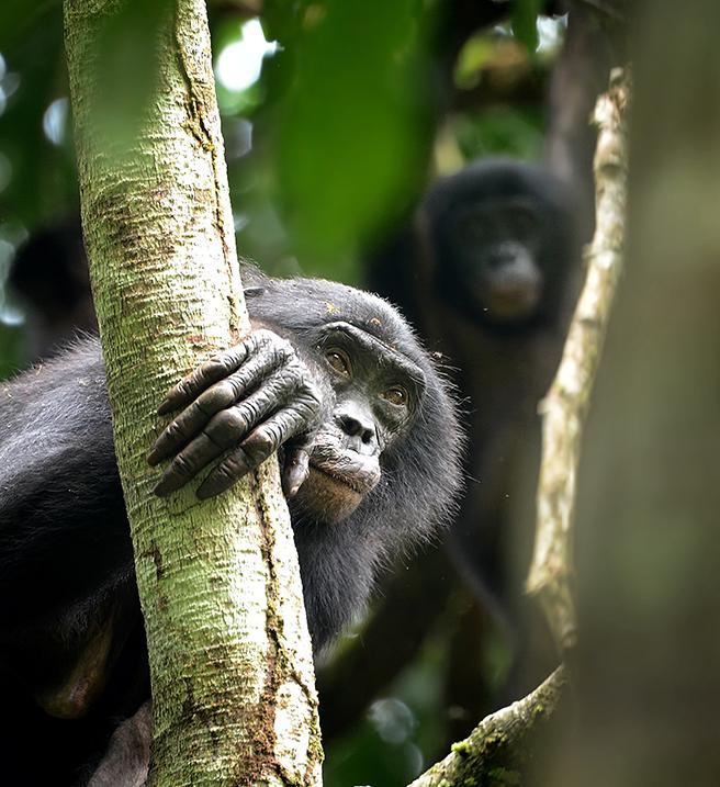 Iyondji bonobos