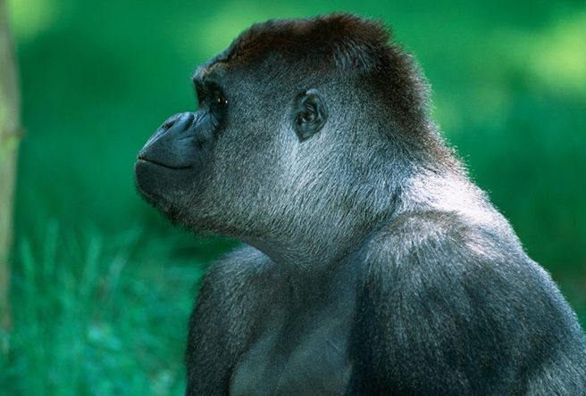A profile of a Western lowland gorilla