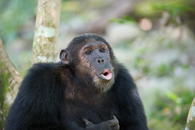 Chimpanzee in Virunga
