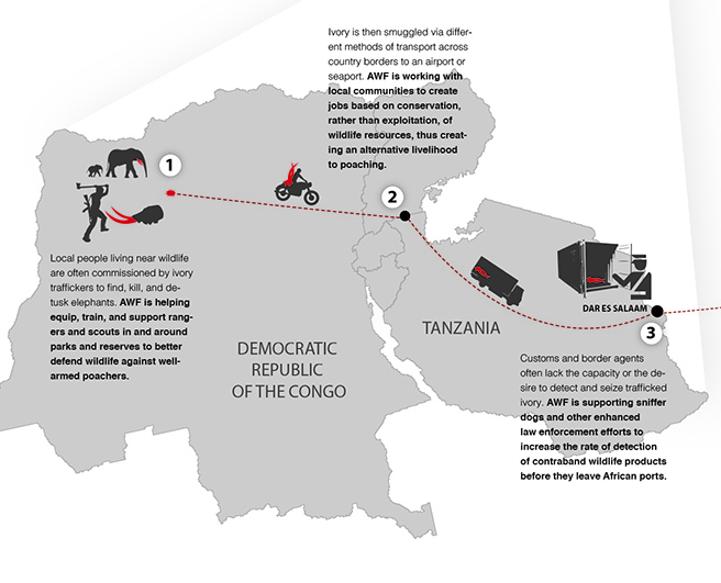Ivory path from bush to market infographic