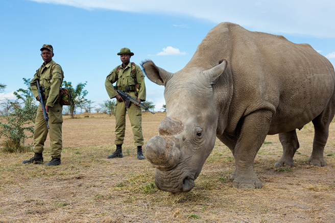 White rhino guarded by rangers