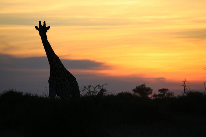An East African giraffe stands in front of a sunset in Uganda