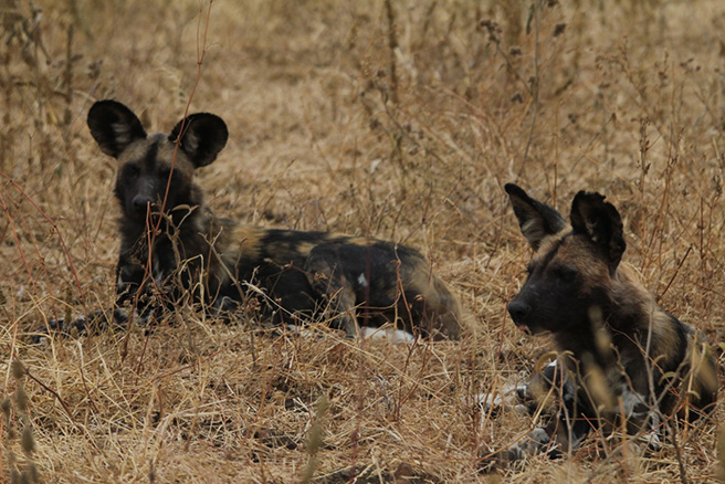 African wild dogs lying down at Manyara Ranch Conservancy in Tanzania. Photo by Tom Schovsbo