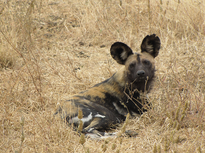 African wild dog lying down at Manyara Ranch Conservancy in Tanzania. Photo by Tom Schovsbo