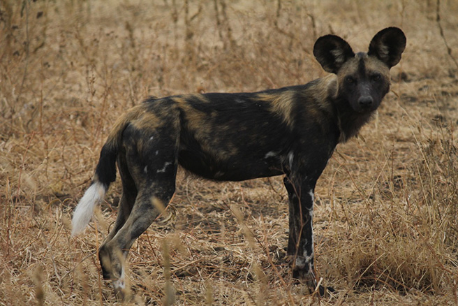 African wild dogs at Manyara Ranch Conservancy. Photo by Tom Schovsbo