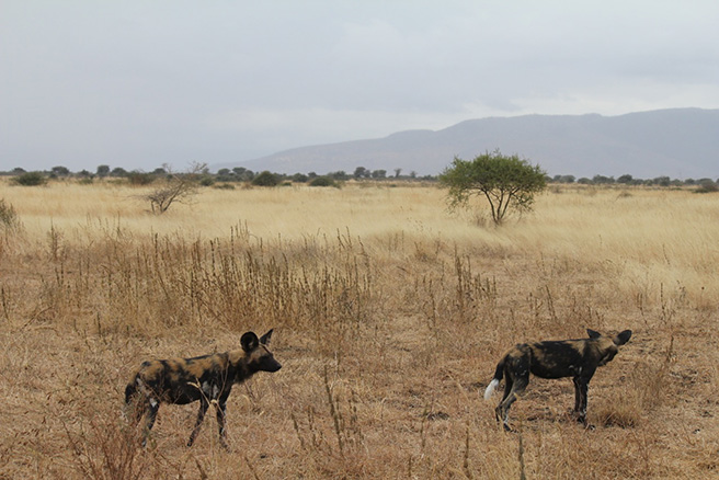 African wild dogs at Manyara Ranch Conservancy in Tanzania. Photo by Tom Schovsbo
