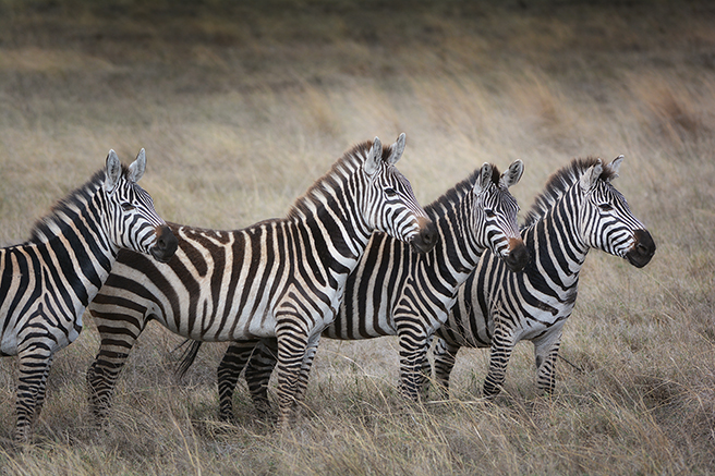 Zebras African Wildlife Foundation