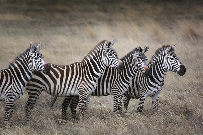 Zebras African Wildlife Foundation