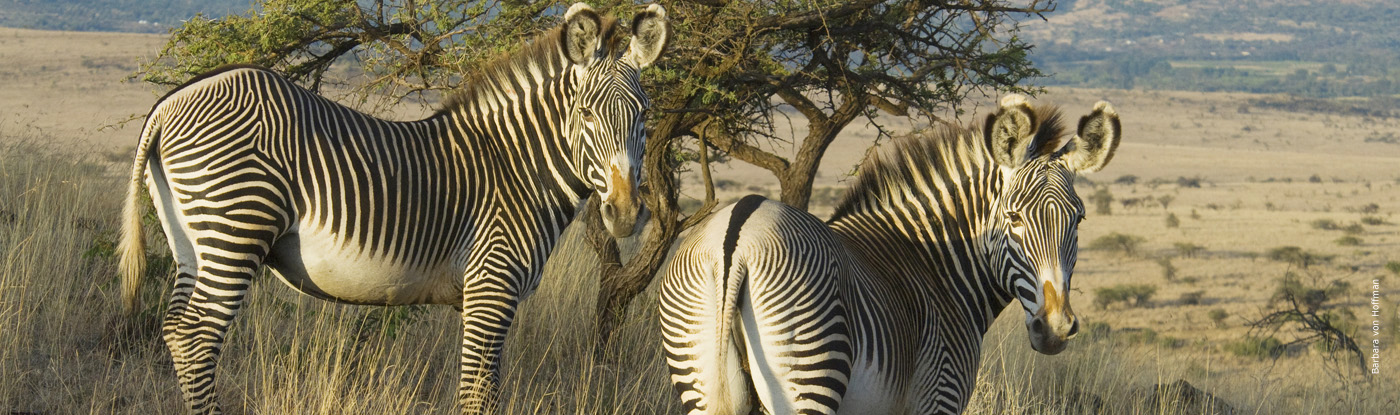 Grevy's Zebra | African Wildlife Foundation