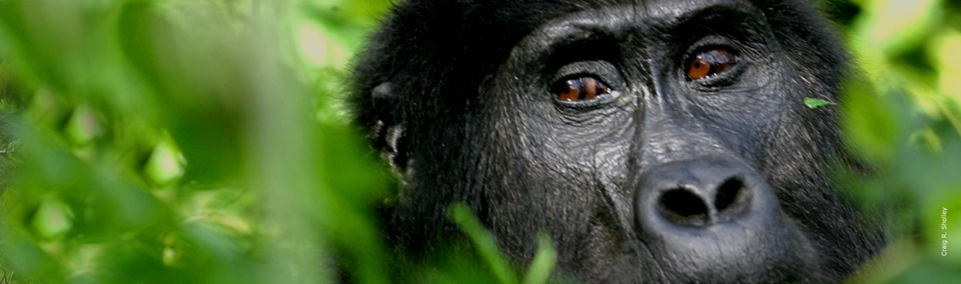 Gorilla African Wildlife Foundation