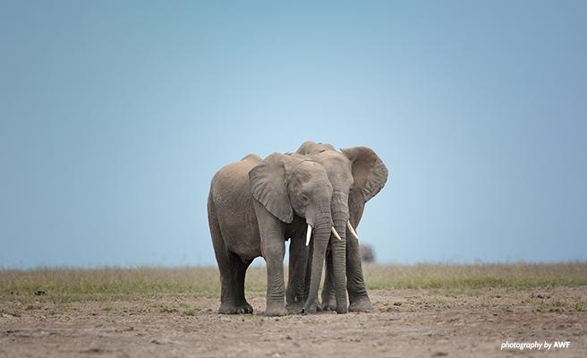 Elephants on the savanna