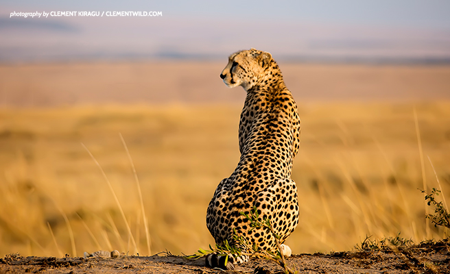 Cheetah on the savanna