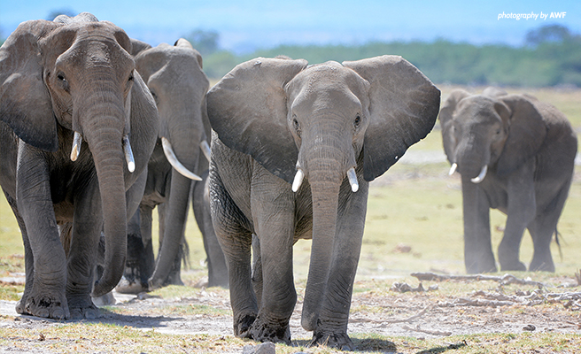 Elephants with ivory tusks in Africa