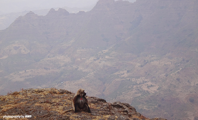 Gelada monkey in the Simien Mountains