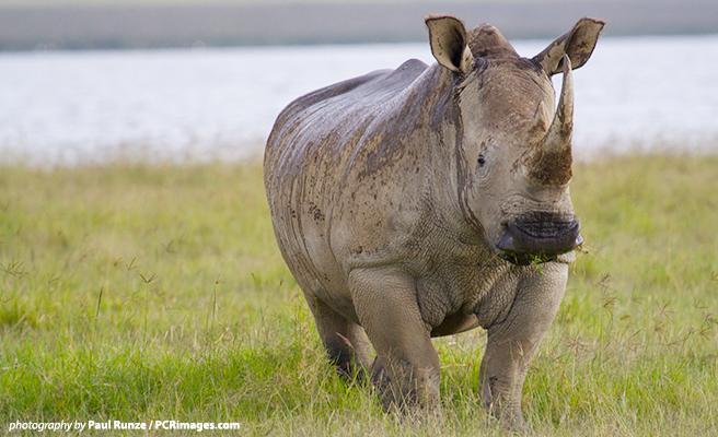 Rhino killing at Thoiry Zoo underscores the crisis rhino in the wild are facing