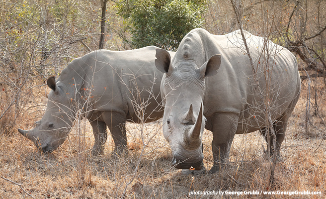 AWF urges South Africa not to legalize the sale of rhino horn
