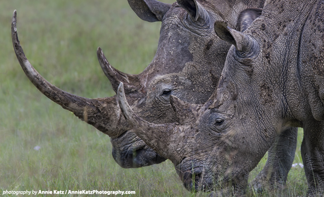 Two white rhino with horns