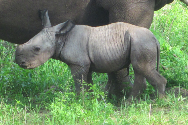 Rhino calf, Emmanuel, was born in Zambia on December 25, 2013. Photo by Gideon Chikanya