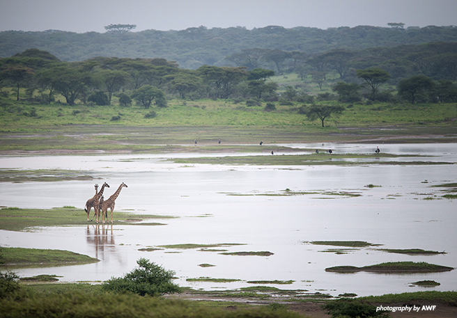 Giraffe in the Maasai Steppe